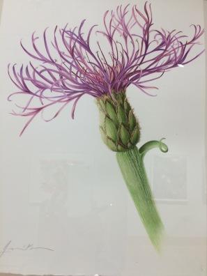 Centuarea Montana -- Cornflower by Reiner at the Flinn Gallery in Greenwich